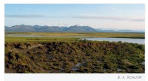 Tundra i Sibir. I forgrunnen ser vi hvordan bakken har falt sammen etter å ha smeltet og deretter begynt å råtne. Fra Schuur and Abbott, Nature (2011) 480, 32-33