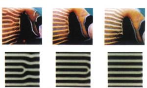 Utvikling over tid av keiserfiskens striper