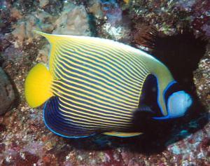 Keiserfisken pomacanthus imperator