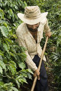 Kaffebonde i Brasil. Står han uten jobb på grunn av kafferusten? Foto: Wikimedia Commons