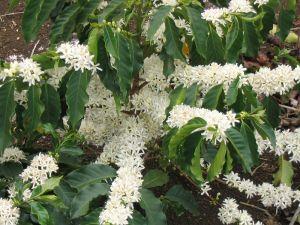 Arabica-plante med blomster. Foto: Wikimedia Commons