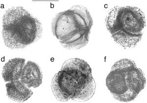 Muterte pollenkorn fra perm-trias for omtrent 251 millioner år siden. Visscher et al., 2004.