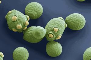 Saccharomyces cerevisiae, sterkt forstørret