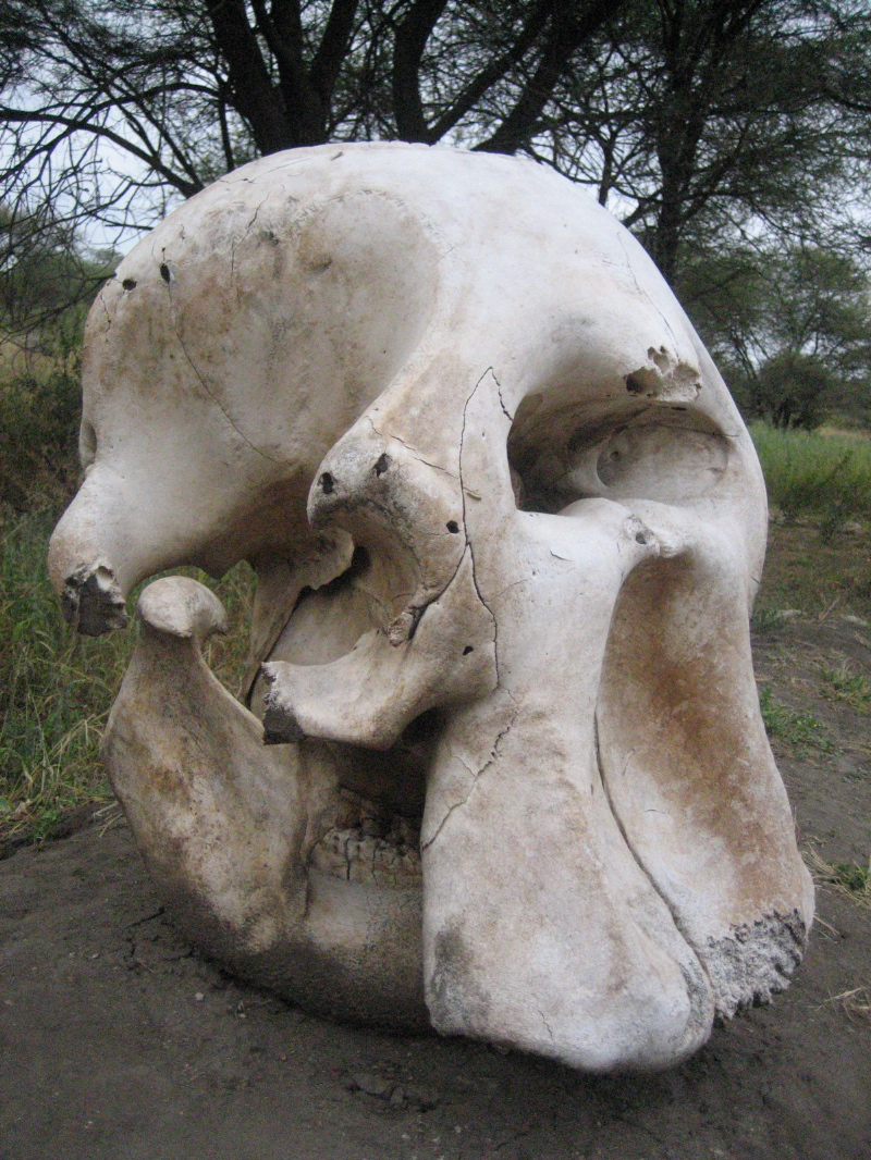 Elephant_skull_at_Serengeti_National_Park foto Ryanl Junell