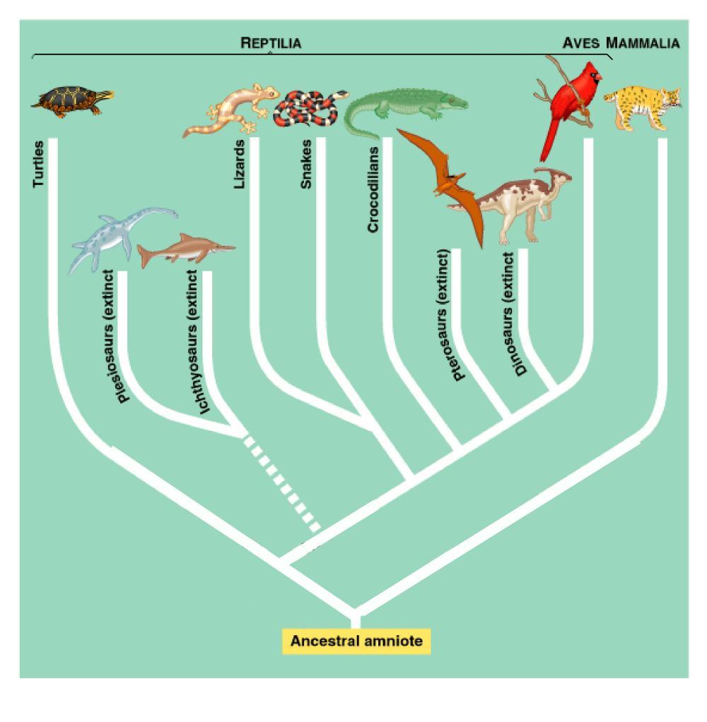 phylogeny-amniota-edited